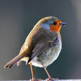 Winter Sunshine Robin Redbreast by Neil R Finlay