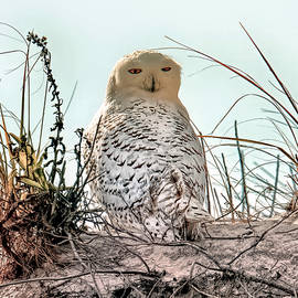 Winter visitor - snowy owl by Geraldine Scull
