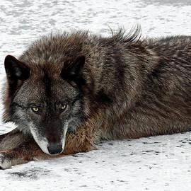 Winter Wolf 214 by Steve Gass