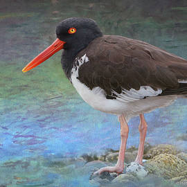 Wintering Oyster Catcher by R christopher Vest