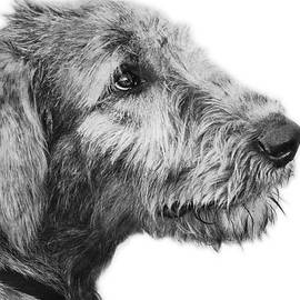 Wolfhound Puppy Portrait by Laurie Minor