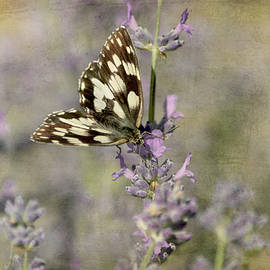 Wonderful specimen of the Galatea butterfly with delicate colors  by Rita Di Lalla