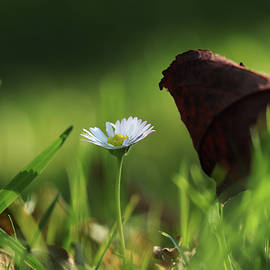 Wonderful white daisy between marple leaf and grass on the garden. Touch of a beauty. Magic of nature in real time. Happiness from wildness by Vaclav Sonnek