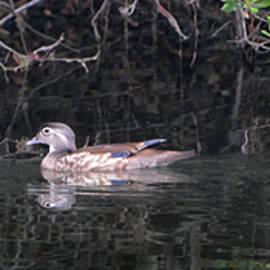 Wood Duck Parade by Jerry Griffin