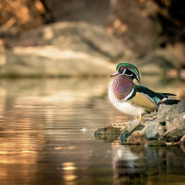 Wood Duck Solitude by Judi Dressler