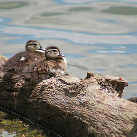 Wood Ducklings by Nick Bonse