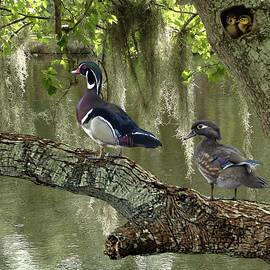 Wood Ducks of Florida by Spadecaller
