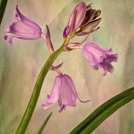 Wood Hyacinth Spanish Bluebell - Pink by Gary McJimsey