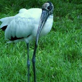 Wood Stork Closeup  by Chris Mercer