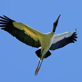 Wood Stork in Flight by Morey Gers