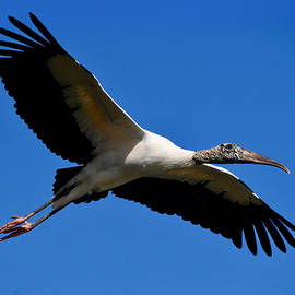Wood Stork in Flight by Richard Bryce and Family