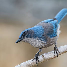 Woodhouse's Scrub Jay, Aphelocoma woodhouseii by Jim and Lynne Weber