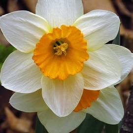 Woodland Daffodils  by Lori Frisch