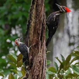 Woodpeckers  by Nicole Markmann Nelson