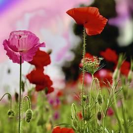 World of Poppies by Tony Williams