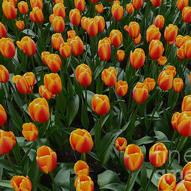Worldpeace Tulips by Shawn Dechant