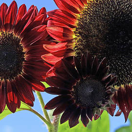Wow  Red Sunflowers by Allen Beatty