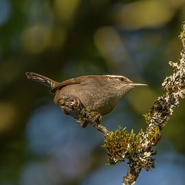 Wren Portrait with Moss and Lichen by Marv Vandehey