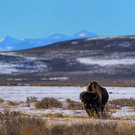 Wyoming Bison by Julieta Belmont