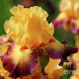 Yellow and Purple Iris by Jane Tomlin