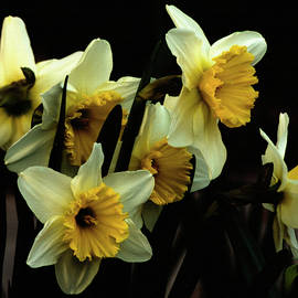 Yellow And White Daffodils by Denise Harty