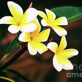 Yellow and White Plumeria by Scott Pellegrin