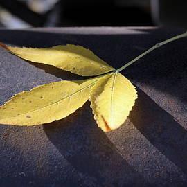 Yellow Autumn Leaf on Leather by Joseph Skompski