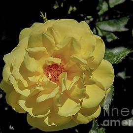 Yellow Beauty by Deni Kidwell