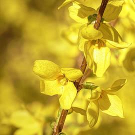 Yellow Bells by Sandi Kroll
