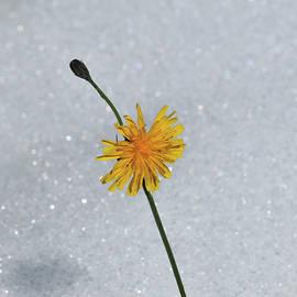 Yellow blossom macro in snow by Brigitta Diaz