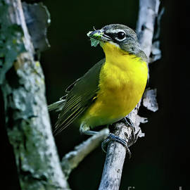 Yellow Breasted Chat, Indiana by Steve Gass