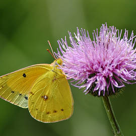 Yellow Butterfly Close Up on Texas Thistle by Gaby Ethington