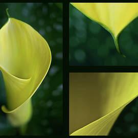Yellow calla Triptych by Barbara Corvino