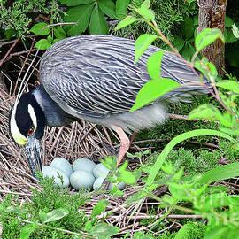 Yellow-crowned Night Heron Turning Eggs by Regina Geoghan