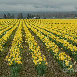 Yellow Daffodil Field by Ivete Basso Photography