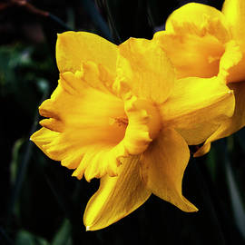 Yellow Daffodils by Denise Harty