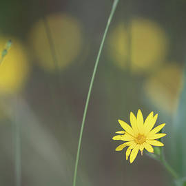 Yellow Daisy Close-up by Karen Rispin