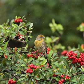 Yellow Finch On Berry Bush In The Rain   by Linda Brody