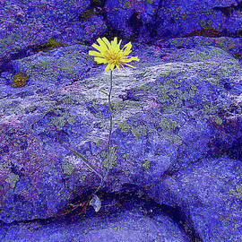 Yellow Flower in the Blue Rocks by Alex Mir
