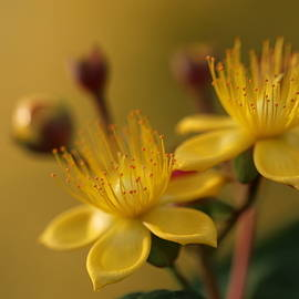 Yellow Serenity by Kelly J Kreger