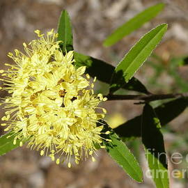 Golden Flower, Spring, Warrumbungle Nat. Park. N.S.W.  by Rita Blom