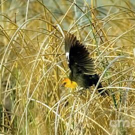 Yellow-Headed Blackbird #1 by William Meeuwsen