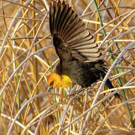 Yellow-Headed Blackbird #2 by William Meeuwsen