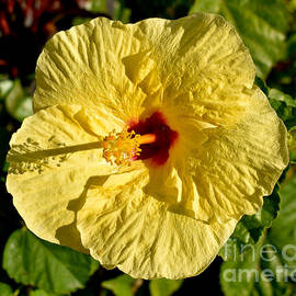 Yellow Hibiscus Perfection Hawaii  by Gary F Richards