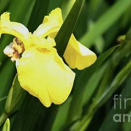 Yellow Iris And A Bee by Gary Shindelbower