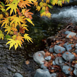 Yellow maple leaves on a tree above a river  from the beautiful  by Michalakis Ppalis