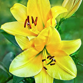 Yellow Oriental Lily by Marcia Colelli