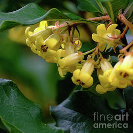 Yellow Pittosporum by Neil Maclachlan