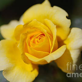 Yellow Rose Dreamer by Joy Watson