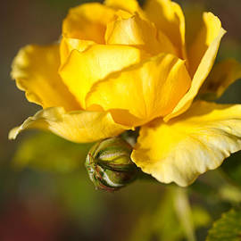 Yellow Rose Hugging Bud by Joy Watson